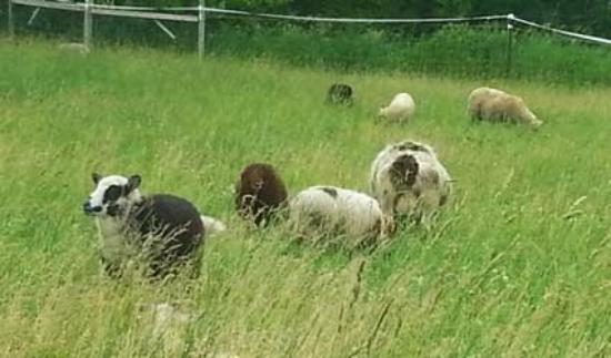 Black Cat Farmstead: The flock grazing in pasture