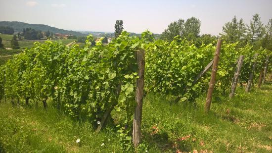 Villa Pallavicini: виноградники