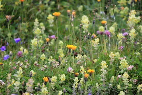 グリンデルワルト, スイス, ハイキングコース沿道の草花