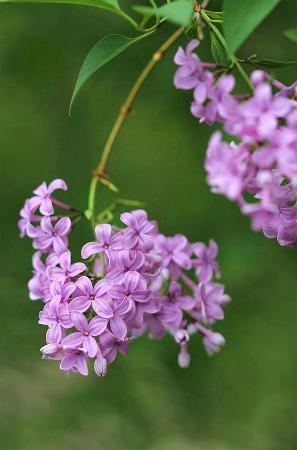 Lilacia Park: Exquisite Purple Lilacs