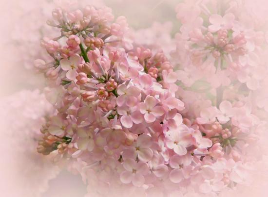 Lilacia Park: Dreamy Pink Lilacs
