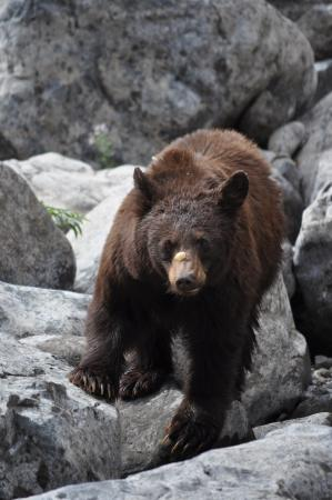 Oxbow, Oregón: Bears in Hells Canyon