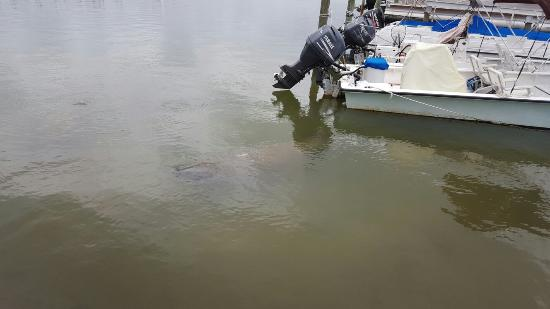 Jensen's Twin Palm Cottages and Marina: Amazing time at Jensen's marina. Wow the manatees are so close....