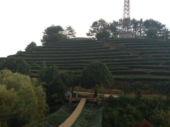 Longyan, China: Tea bushes: you can buy and taste that good tea