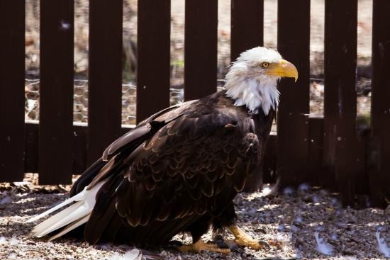 Inland Expedition: A bald eagle