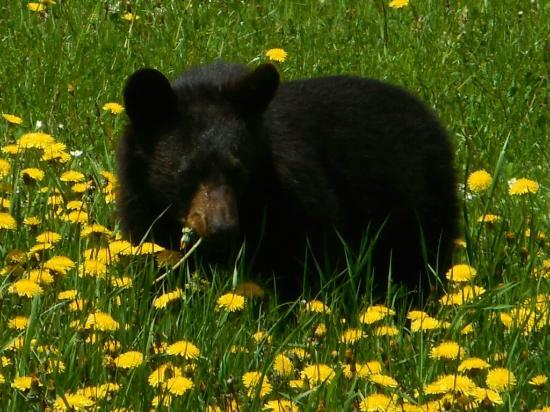 Gîte des Trois-Ruisseaux : Bear in Forillon