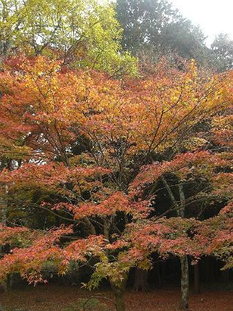 Sagimori Jinja Shrine: 紅葉1