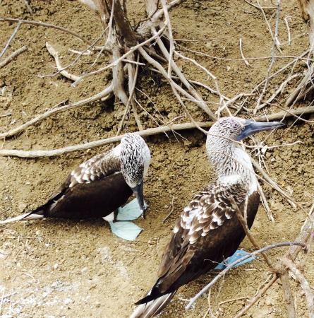 Villa de Los Suenos: Blue footed birds