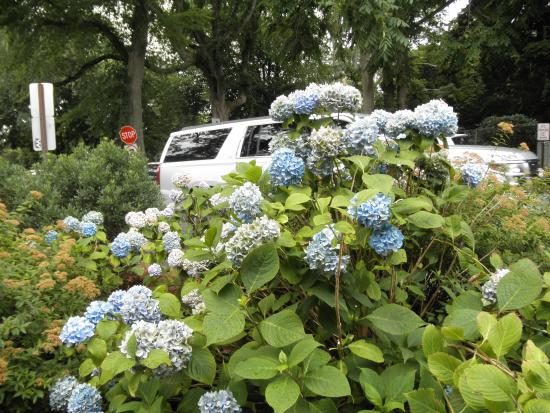 The Hamlet Inn: Hydrangeas are the flower of choice in the Hamptons.