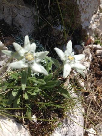 Edelweiss Piancavallo