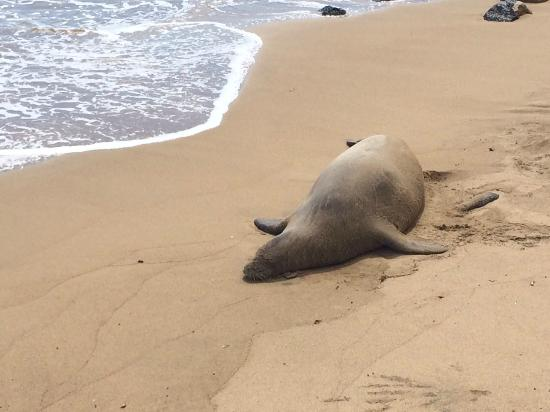 Paia, HI: Monk Seal Sighting!!