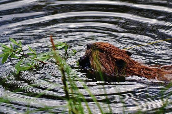 The Beaver Boardwalk: Busy little Beaver