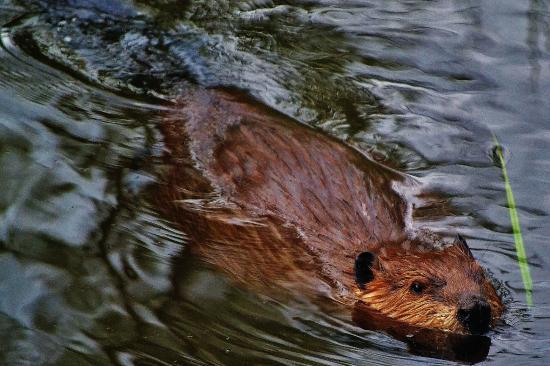 The Beaver Boardwalk: Happy Beaver