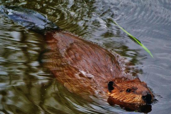 The Beaver Boardwalk: Beaver Swimming