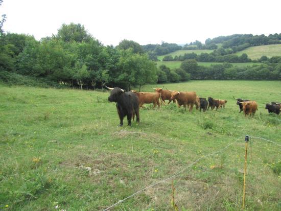 Saint-Michel-de-Montjoie, França: Highland Cattle