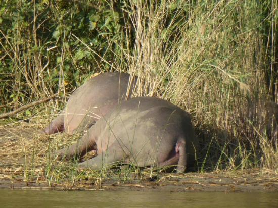Shoreline Hippo and Croc Cruises: Zwei faule Hippos
