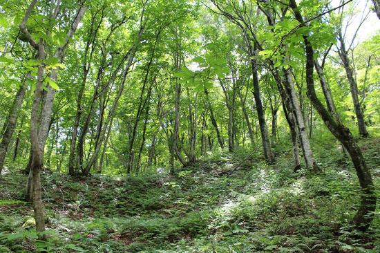 Shirakami Sanchi: ブナの原生林