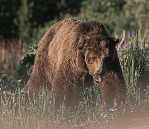 Canyon Village Yellowstone : Scvarface the Grizzly bear