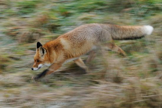 Wildnispark Zürich Langenberg: Le volpi e le loro corse