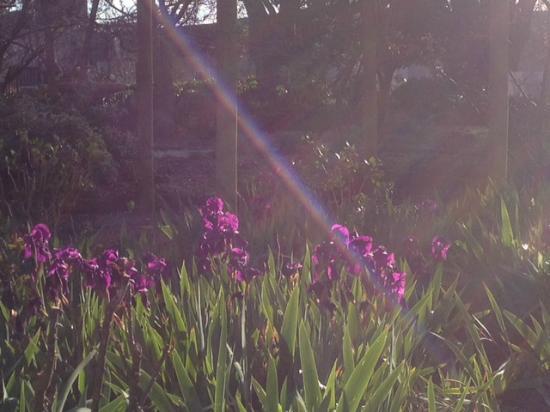 Hawthorne House: Purple Iris Morning