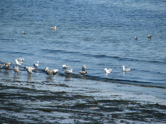 Nanaimo, Canada: Shore birds mostly gulls