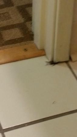 Comfort Suites at Tucson Mall: Live cricket trying to crawl under wall in bathroom