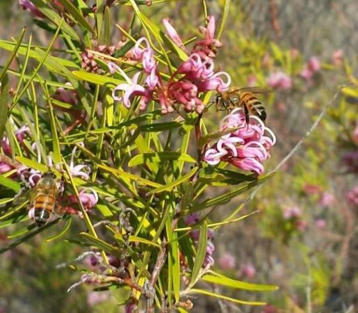 Balls Head Reserve: Bees enjoying the nectar of guerillas