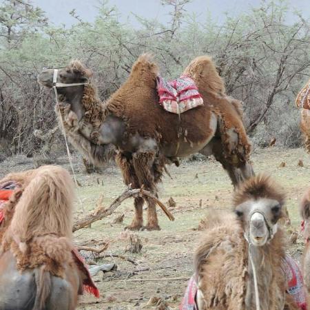 Hundur, India: Double humped bactrian camel... hunder