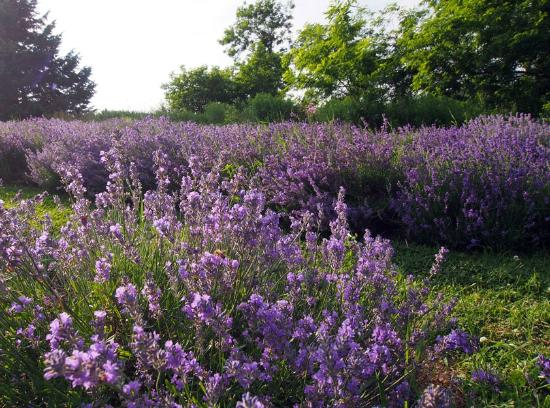 Dundas, Canadá: A farm with over 4000 lavender plants and growing. Prime bloom time end of June - July.