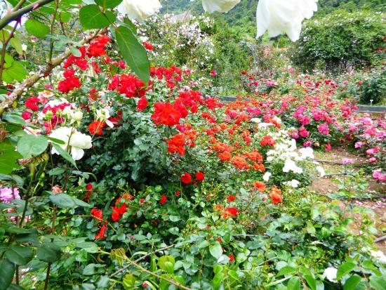 Roseiral da Quinta do Arco