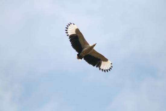 Bua River Lodge: Palm Nut Vulture flying over head