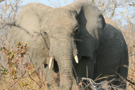 Kazuni Safari Camp: Elephant close up during a game drive
