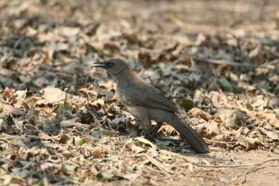 Arrow-marked Babbler next to our hut
