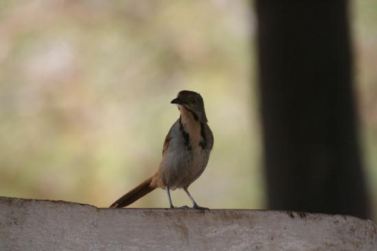 Collared Palm Thrush on the wall of the eating area