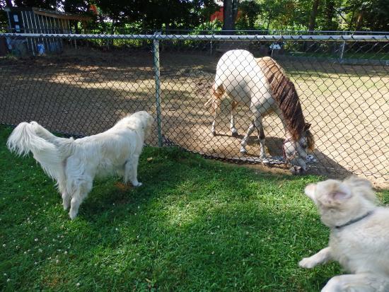 Brattleboro North KOA: Bark park with friendly pony!