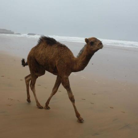 Agadir Dromadaire & Cheval