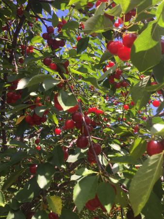 Choice Orchards : Perfect first weekend in August