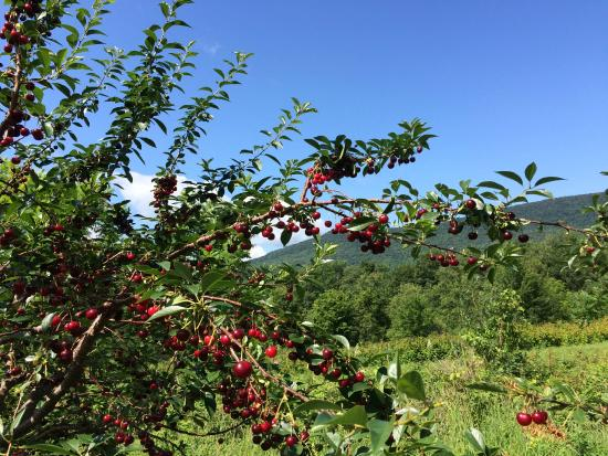 East Dorset, VT: So Many Cherries on this tree!