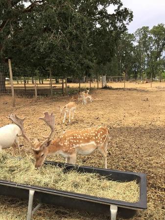 Rosse Posse Acres Elk Ranch: deer
