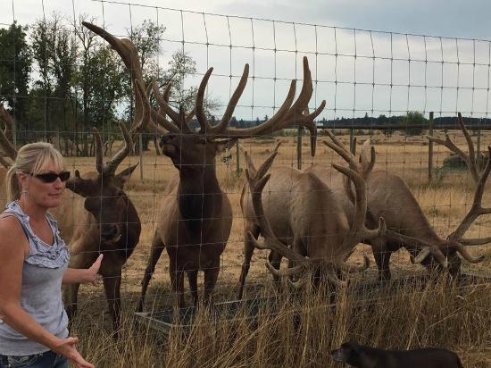 Rosse Posse Acres Elk Ranch: elk feeding