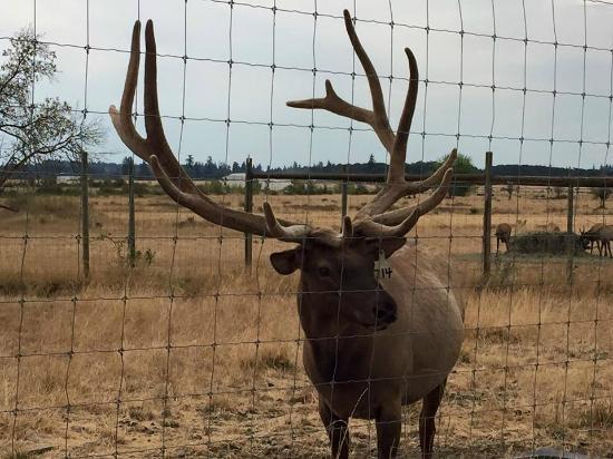 Rosse Posse Acres Elk Ranch: elk