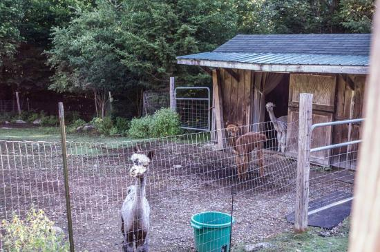 Bromley View Inn: Alpaca pen