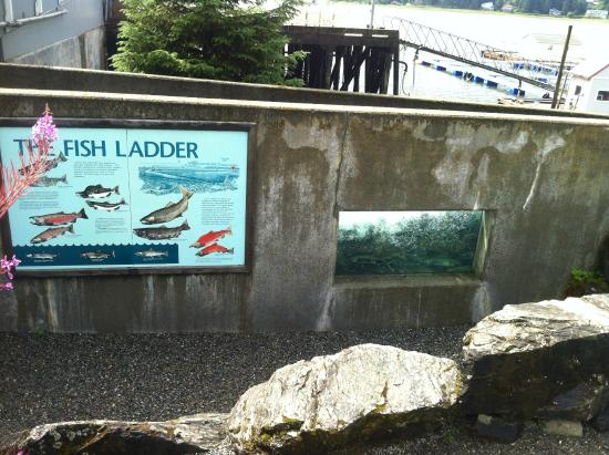 DIPAC's Macaulay Salmon Hatchery : Watch 3 of the 5 salmon species return up our salmon ladder in the viewing window.