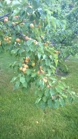 Raduga Resort Center: Вокруг коттеджей растут абрикосы, груши и яблони