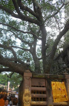 Hotel Tathagat International : Священное дерево Будды в Храме