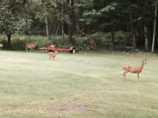 Pocono Pines Motor Inn & Cottages: Deer