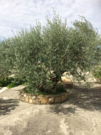 Le Mas des Sorcieres : l'olivier