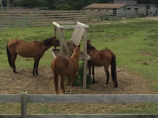 Ocracoke Pony Pens: ponies
