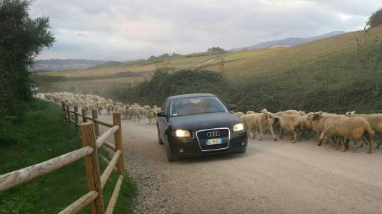 Agriturismo la Polledrara : Rebanho de ovelhas em La Polledrara.