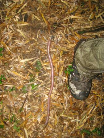 Mount Sabinyo: Earth worm size XL Shoes are size UK 11